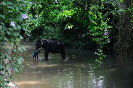Elephant in the river - Millennium Elephant Foundation, Pinnawala