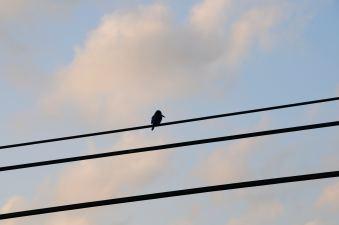 Blue bird at sunset - from Ratnapura heading to Bentota