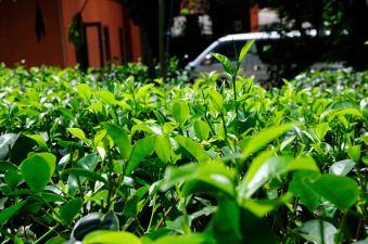 Tea @ Handunugoda Tea Estate