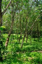Tires in the making - rubber plantation @ Handunugoda Tea Estate