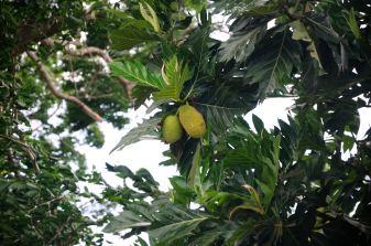Bread fruit @ Handunugoda Tea Estate
