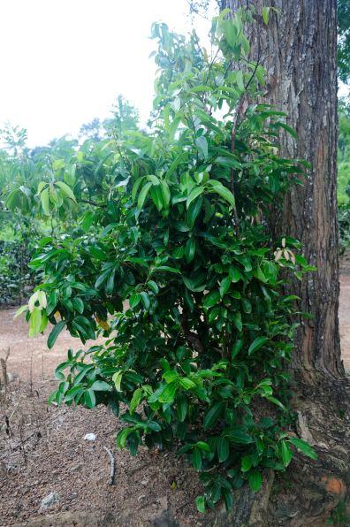 Cinnamon @ Handunugoda Tea Estate